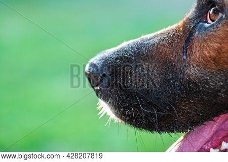 Crying Dog Nose And Tearing Eye, Closeup