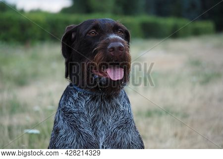 Hunting Dog Of German Drathaar Breed In Nature In Summer. High Quality Photo