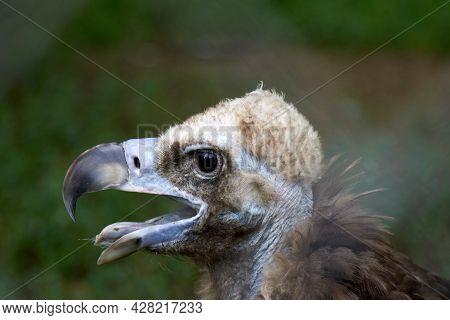 A Close-up Of The Head Of A Bald Vulture, A Photo Of A Scavenger, Which Shows Details Of The Feather