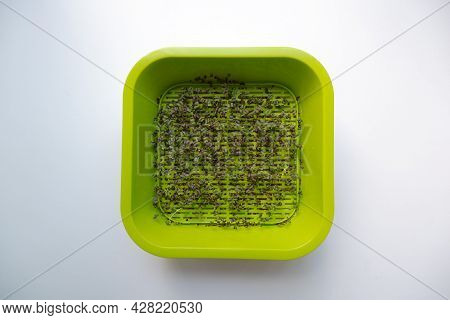 The Photo Shows Sprouted Sprouts Of Micro-green Daikon Salad In A Container Close-up.  The Process O