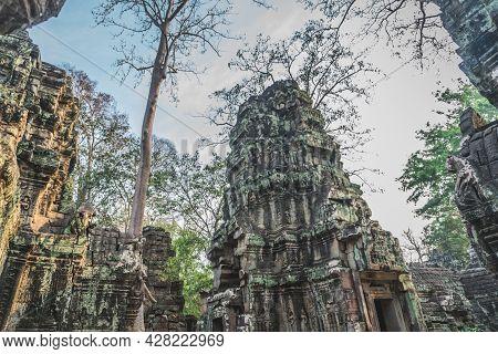 Huge Banyan Tree Ancient Angkor Wat Ruins Panorama Sunrise Asia. Angkor Temples Ta Prohm. Siem Reap,