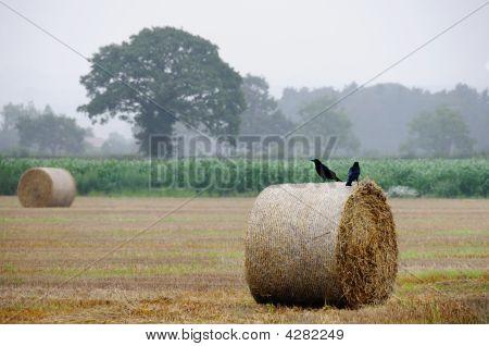 Hayfield At Harvest