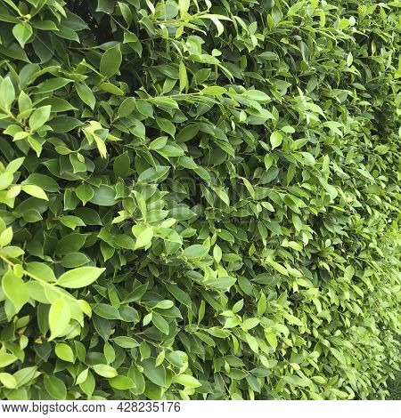 A Wall Or Fence Made Of Green Leafy Plants, Nature Textured Background.