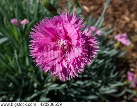 Closeup Of Bright Pink Flower - Common Pink, Garden Pink Or Wild Pink (dianthus Plumarius) With Symm