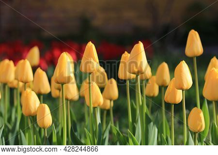 nice yellow tulips flowers in park