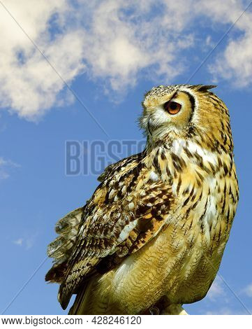 Eurasian Eagle Owl Latin Name Bubo Bubo Perched With A Blue Sky Background