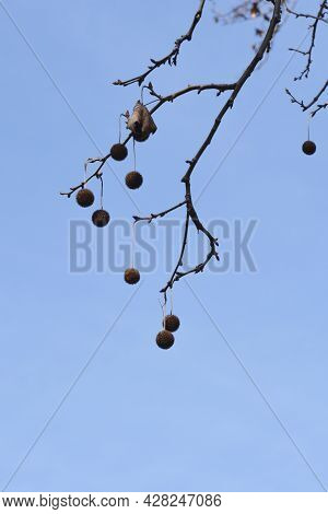 London Plane Branch With Seeds And Buds Against Blue Sky - Latin Name - Platanus X Hispanica (platan
