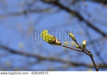 Norway Maple Branch With Flowers - Latin Name - Acer Platanoides