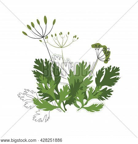 Dill And Coriander Seasoning On A White Background, Spices, Herbs. Cultivation Of Useful And Natural