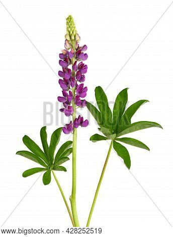 Purple Lupine Flower Isolated On White Background. Lupinus Or Wolf Bean. Beautiful Summer Flowers.