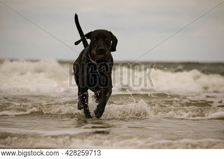 Pretty Brown Hybrid German Wirehaired Pointer Dog Runs Through The Waves On The Beach