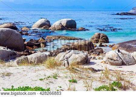 South Africa. Sandbank with large rocks and algae. Scenic Penguin Conservation Area near Cape Town. The flightless bird is a spectacled penguin.