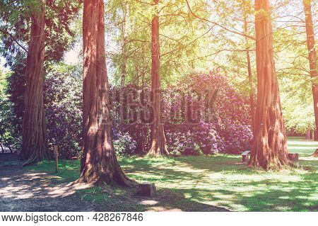 Beautiful Pine Tree Trunks In Garden With Blooming Trees And Bushes During Spring Time, Wales, Uk
