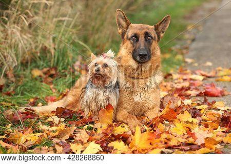 German Shepherd With Yorkshire Terrier