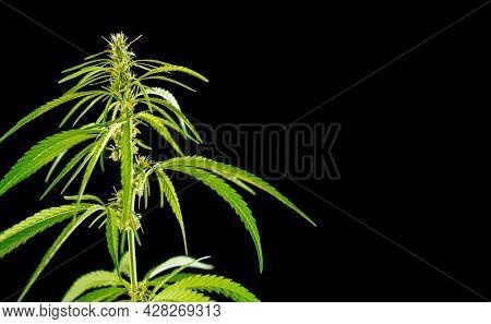 Cannabis or marijuana plant leaves. Medicinal and antidepressant medicinal plant marijuana