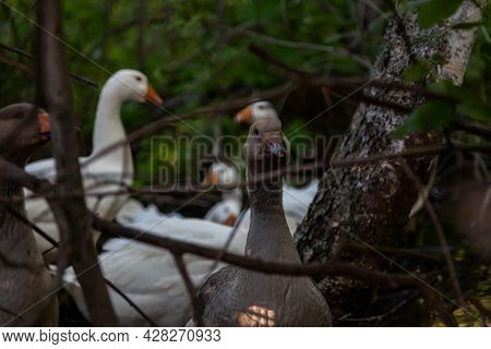 Group Of Geese And Ducks Quacking In The Forest , View From The Trees. Hunting  And Farming Birds.