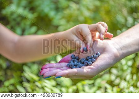 The Child Takes Blueberries With His Hand In The Forest. Close-up Of Hands Of An Adult And A Child W
