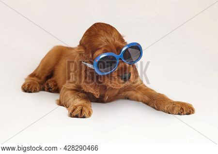 Charming Irish Setter Puppy Of Brown Color On A White Background.