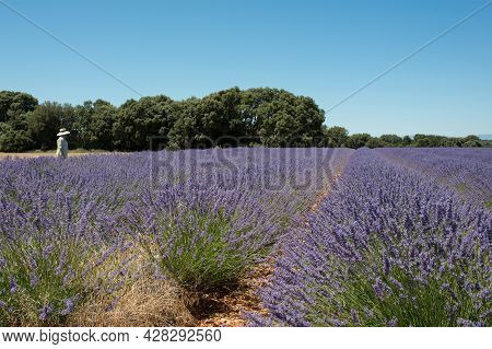 Countryside Landscape With Lavender Fields Blooming And A Woman With Hat And White Shirt In The Dist