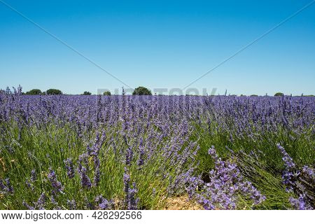A Lavender Field When Blooming, Seen From Inside. Thousend Of Insects Around. Brihuega, Spain, Europ