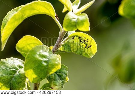 Ants On A Young Green Apple Leaf. Ants Damage The Tree