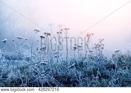 Frost-covered Thickets Of Dry Grass In Winter In The Fog, Through Which The Light Of The Morning Sun