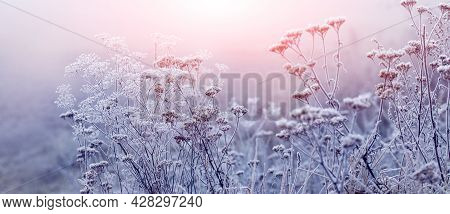 Frost-covered Stalks Of Dry Grass In The Field In The Morning At Sunrise. Winter Sunrise In The Fog
