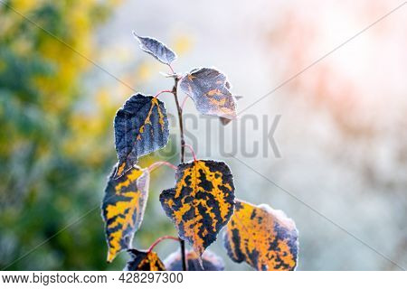 Frost-dried Leaves On A Tree With A Blurred Background. The First Frosts