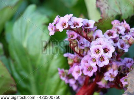 Blooming Bergénia Crassifólia, Selective Focus, Blurred Background, Horizontal Orientation.