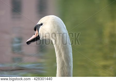 Portrait Of A White Mute Swan (cygnus Olor) On A Pond With Spring Reflection, Selective Focus, Blurr