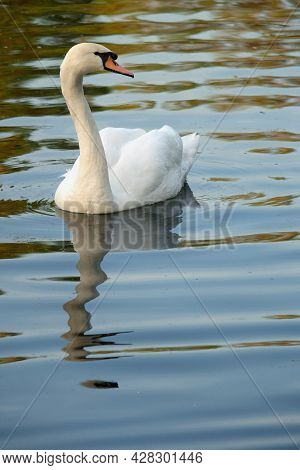 White Mute Swan (cygnus Olor) On A Pond With Spring Reflection, Vertical Orientation.