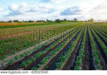 A Beautiful View Of Countryside Landscape Of The Potato Fields. Agroindustry And Agribusiness. Harve