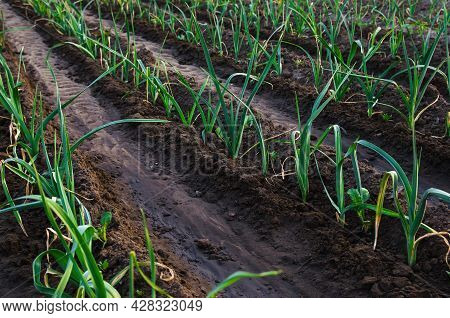Rows Of Leek Onions In A Farm Field. Fresh Green Vegetation On Wet Ground After Watering. Agroindust