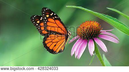 Echinacea Purpurea Flower In The Garden. Colorful Monarch Butterfly On Echinacea Flower. Coneflower