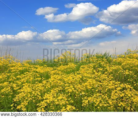 Summer landscape with wild yellow flower meadow  under nice clouds in sky