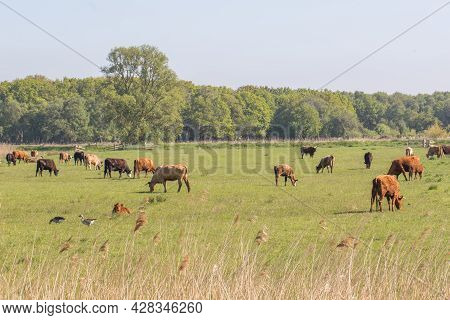 Agricultural Grazing Land Landscape. Free Range Cattle On Grass Norfolk Uk. Farmland With Brown Cows