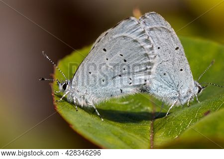 Small Blue Cupido Minimus Butterflies. Insects Mating On A Leaf. Close-up Garden Nature Macro Butter