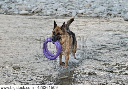 Active Walking And Playing With Dog In Water. Splashes Fly From Under Paws. German Shepherd Of Black