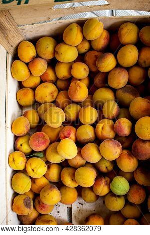 Fresh Apricots Taken From The Tree. Harvest The Fruit Before Sorting. Fruit Apricot Background.