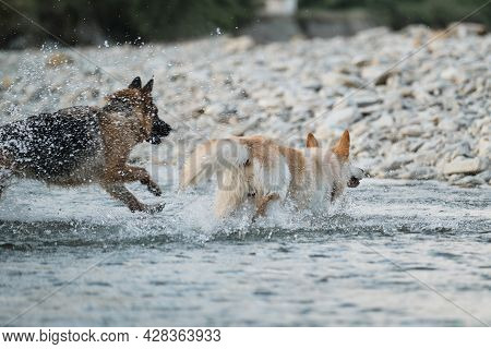 Two Dogs Are Playing Merrily By River And Spray Is Flying In Different Directions. Black And Red Ger