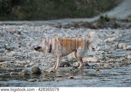 Charming Mix Breed Dog Walks Along River On Warm Summer Evening. Half Breed Of White Swiss Shepherd