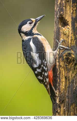 Great Spotted Woodpecker (dendrocopus Major) Portrait In Forest. Wildlife In Nature. Netherlands
