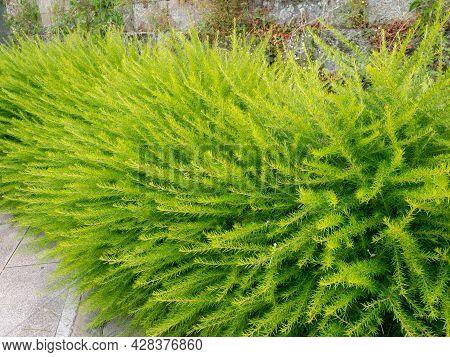 Bright Green Fluffy Decorative Shrubs. Prickly Spider-flower Plants Or Juniper-leaf Grevillea.
