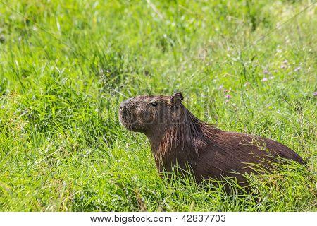 Capybara In The Field