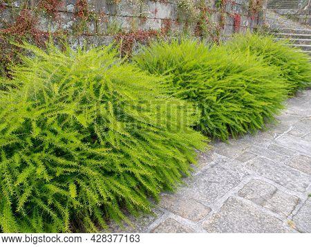 Prickly Spider-flower Plants Or Juniper-leaf Grevillea. Bright Green Fluffy Decorative Shrubs.