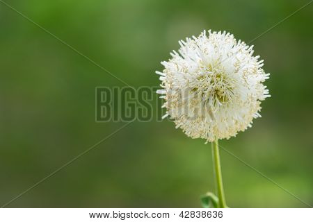 White Flower With Out Of Focus Green Background