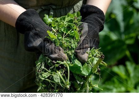Farmer In Gloves Holds Weeds In His Hands After Weeding The Beds In The Vegetable Garden
