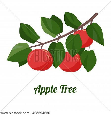Apple Tree Branch. Picking Apples. Harvesting. Branch With Ripe Apple Isolated On A White Background