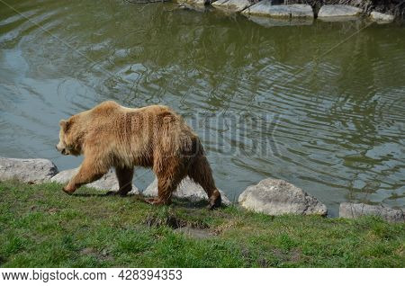 Grizzly Bears In Nature, Grizzly Bears, Bears