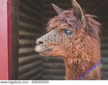 Cute Brown Alpaca With Large Expressive Eyes And Shaggy Fur. Alpaca's Face